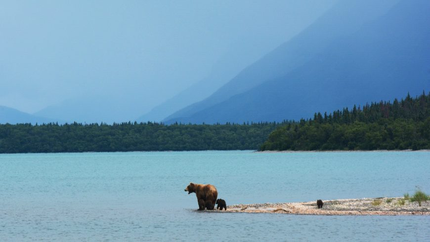 Una mamma orso insegna ai suoi cuccioli a nuotare sul bordo del lago Naknek, in Alaska,