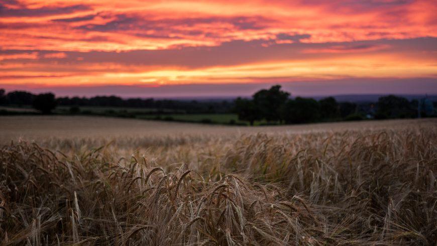 anno internazionale per la salute delle piante, campo di grano