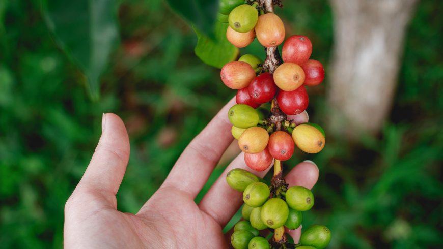pianta di caffé