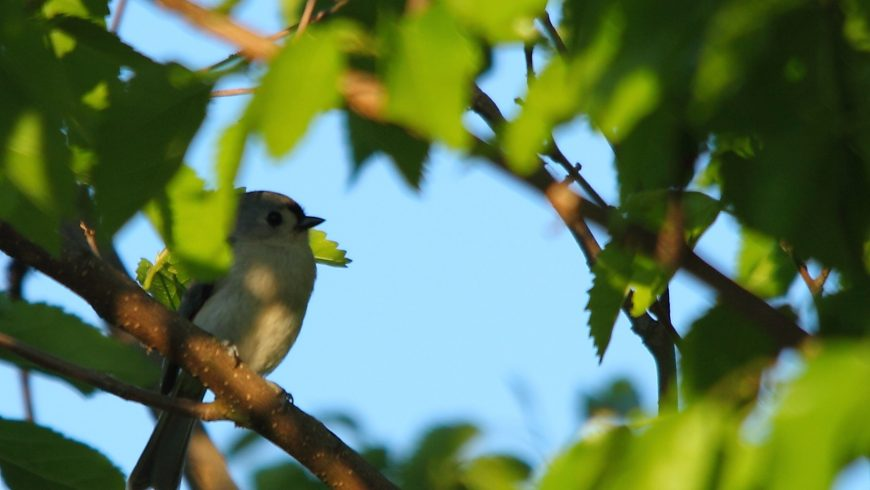 Uccello nascosto tra i rami di un albero in Virginia, usa