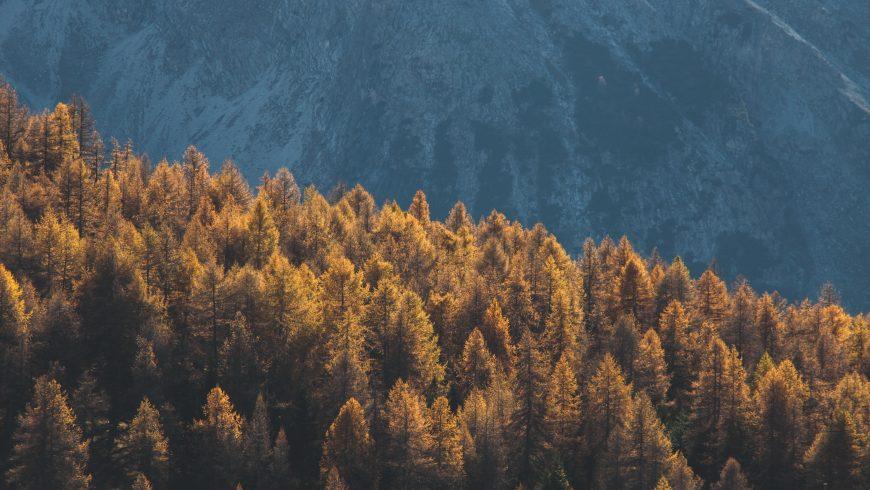 alberi tipici della zona fitoclimatica Alpinetum
