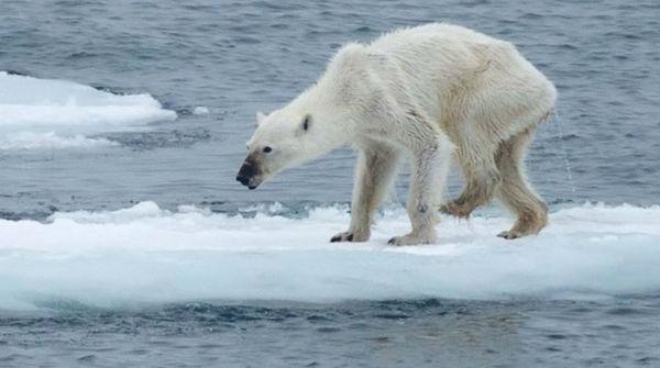 Orso polare denutrito a causa del cambiamento climatico