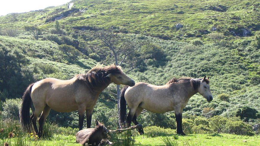 Pony Connemara, pony indigeno dell'Irlanda