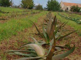 Oltre 400 piante di aloe in Puglia