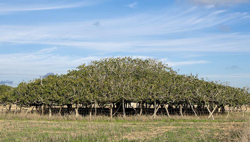 alberi di fico a formentera