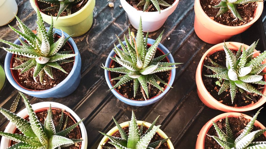 Aloe: una pianta, usata fin dall'antichità, che ha moltissime proprietà benefiche. Dalle cicatrici ai capelli, dai denti al sistema immunitario: gli usi della pianta di aloe vera sono davvero tanti. Scopriamo 10 proprietà incredibili della regina delle piante medicinali e due location in Italia dove provarle. Aloe, alleata del sistema immunitario L'aloe contiene numerose vitamine, 20 dei 22 amminoacidi di cui abbiamo bisogno, polisaccaridi e molti altri composti chimici che sono in grado di potenziare il nostro sistema immunitario stimolando le naturali difese dell'organismo: ecco allora che l'aloe ci protegge da influenza e diverse patologie. Un sollievo immediato per la pelle Quando ti bruci, che sia in cucina o per una scottatura da sole, l'aloe è il miglior alleato naturale. È così che io ho conosciuto le proprietà lenitive delle foglie carnose di questa pianta miracolosa. Il gel di aloe è utile inoltre anche per alleviare il prurito causato da punture d'insetti o le irritazioni post depilazione. Per la cura dei capelli Puoi usare il gel ricavato dalla pianta di aloe anche sui tuoi capelli: l'effetto sarà simile a quella di un balsamo. I tuoi capelli saranno lucidi e morbidi, e proteggerai il cuoio capelluto. Inoltre può essere usato contro la forfora e la calvizie. Un antibatterico per i denti L'aloe è un efficace battericida. Per questo il suo gel può essere usato per realizzare un dentifricio casalingo. La pianta è in grado di contrastare la placca e di pulire i denti. Inoltre ha un'importante azione coagulante, utile per afte e ferite interne al cavo orale. Gel di aloe, un cicatrizzante naturale Questa pianta perenne ha anche delle proprietà coagulanti, che facilitano la riparazione di tessuti e membrano. Ne basta davvero poco per accelerare la guarigione di ferite, eczemi e vesciche. Un succo depurativo L'aloe può essere usato esternamente, ma può anche essere bevuto. Il suo succo favorisce l'attività epatica, l'eliminazione delle tossine e delle altre sost