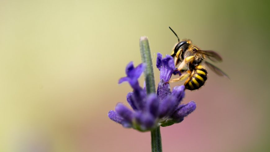 fiore, ape, biodiversità
