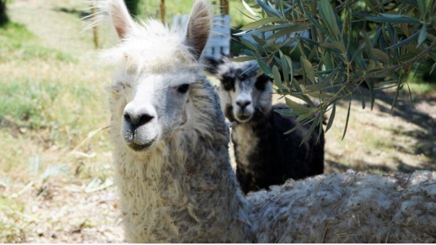 alpaca in agriturismo green ecobnb