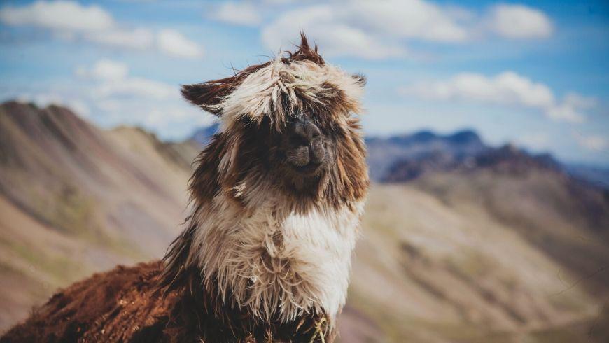 alpaca marrone al vento