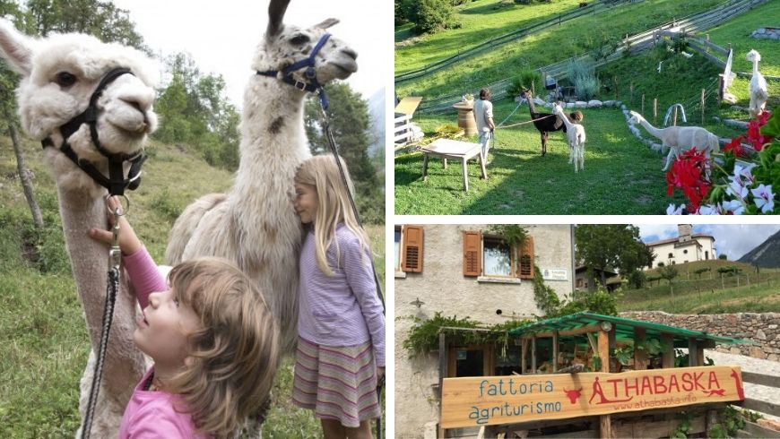alpaca in agriturismo green in trentino ecobnb