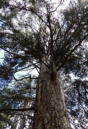 giganti del parco nazionale della sila