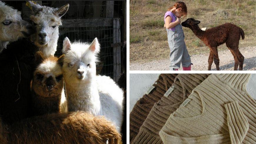 alpaca in agriturismo e lana morbida