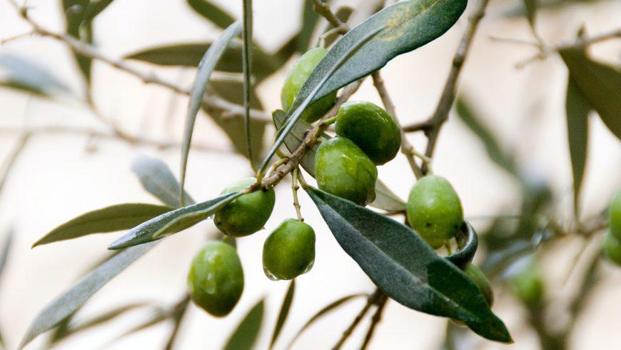 In Italia la raccolta delle olive inizia in autunno. L'olio di oliva appena spremuto è apprezzato per il suo gusto leggermente piccante.