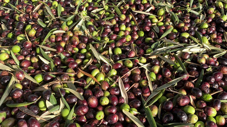 Olive in attesa di essere trasformate in olio d'oliva nello stabilimento Molisur