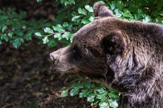 orso nel Parco Faunistico di Spormaggiore