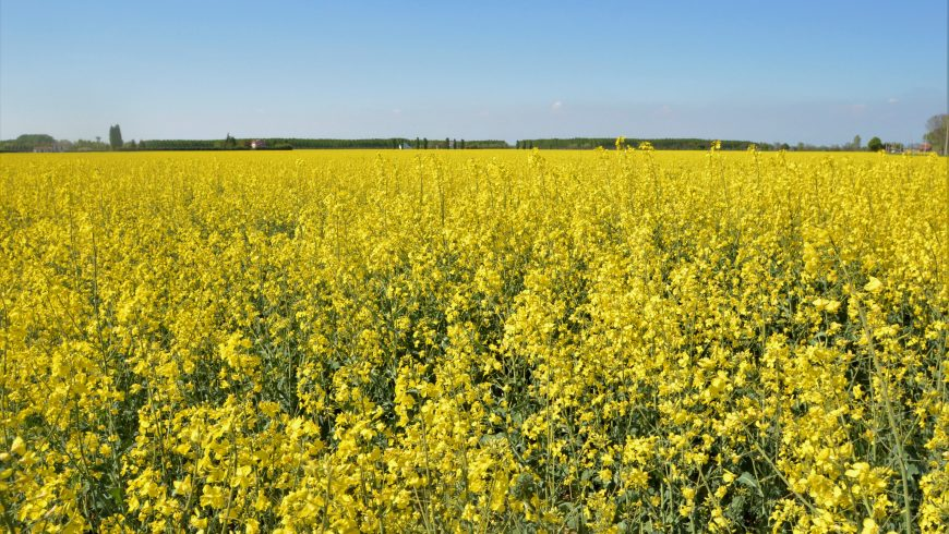 Campi di colza gialli