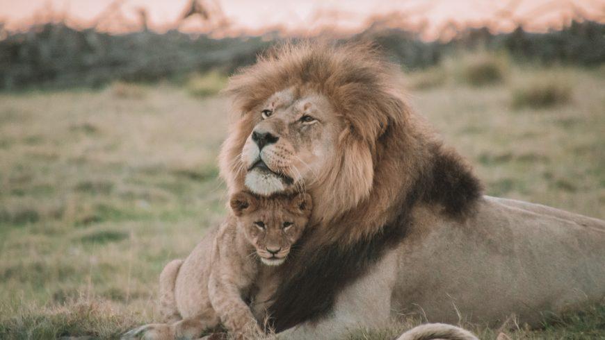 leoncino con leone: animali selvatici sfruttati come attrazioni turistiche