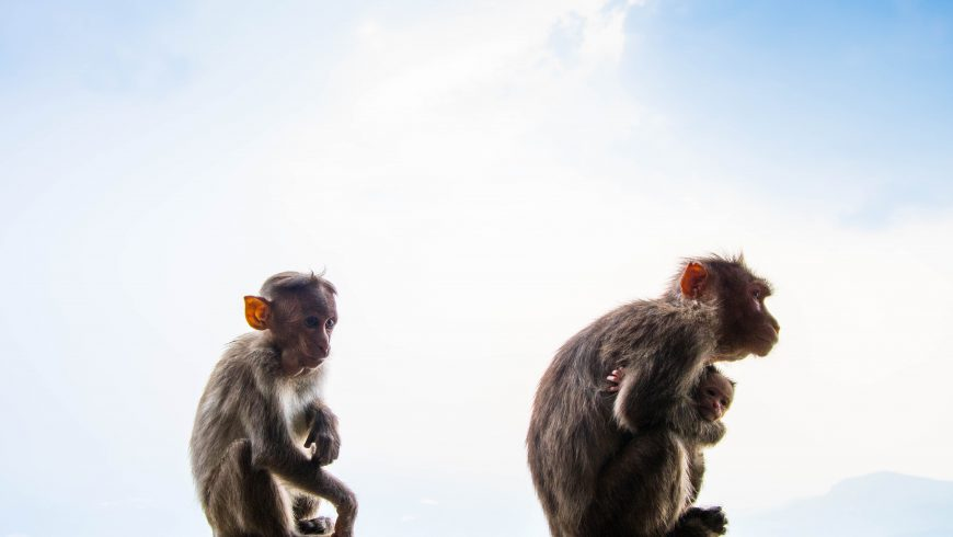 scimmie, animali selvatici sfruttati per attrarre turisti