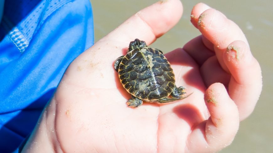 tartaruga marina nella mano di un turista