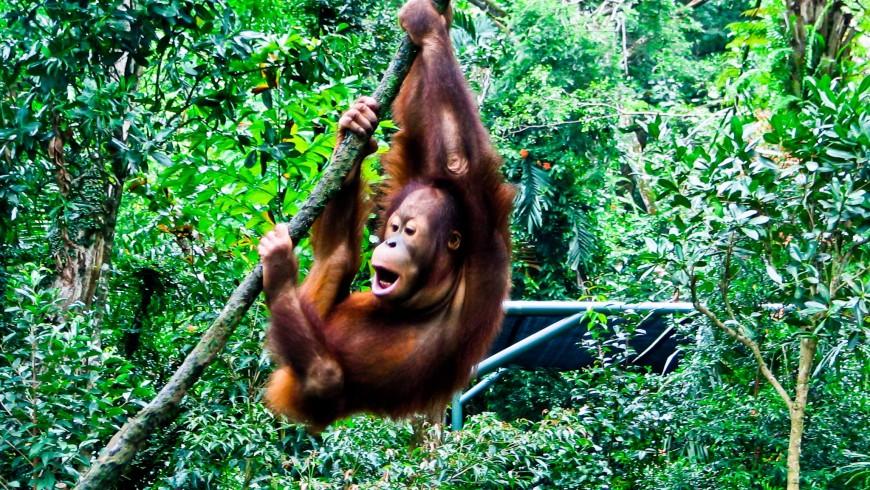 Orangotango in Borneo