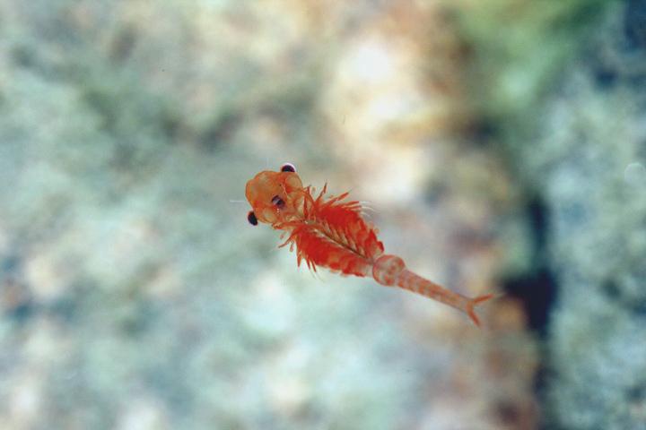 Primo piano del chirocefalo del Marchesoni ,minuscolo crostaceo unico al mondo