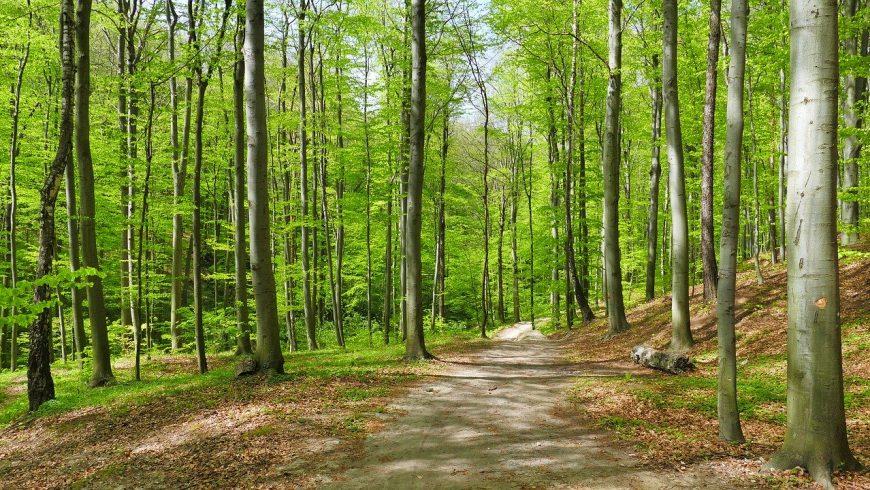 Sentiero in mezzo ad una foresta di faggeta