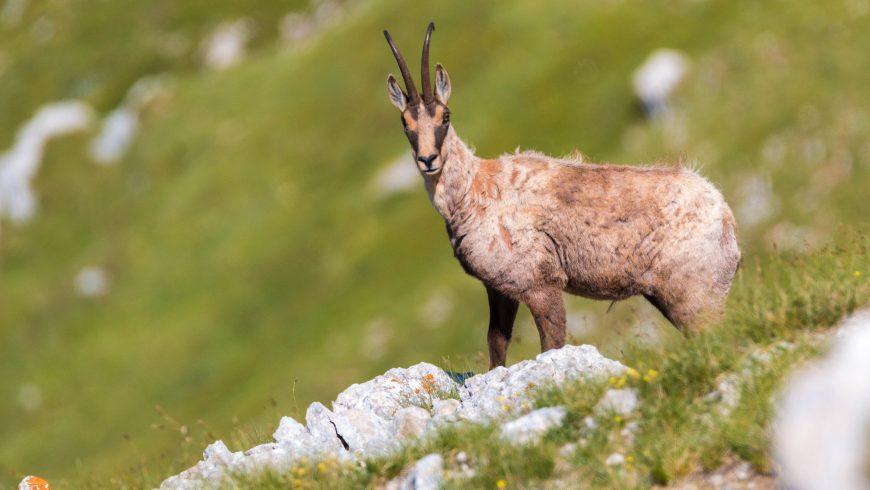 Camoscio appenninico, animale presente nei Monti Sibillini