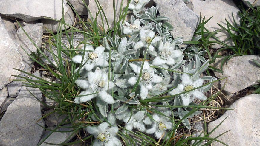 Stella alpina nel monte Vettore