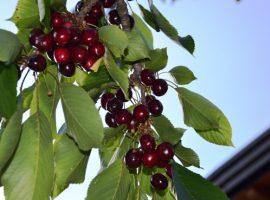 Primo piano di un grappolo di uva nell'orto della casa di paglia Felcerossa