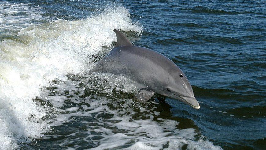 Delfino, specie molto presente all'isola Asinara