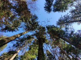 Divjake foresta