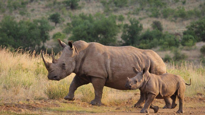 rinoceronte bianco, una delle specie animali vittima dell'estinzione