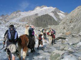trekking con gli Alpaca a Disentis