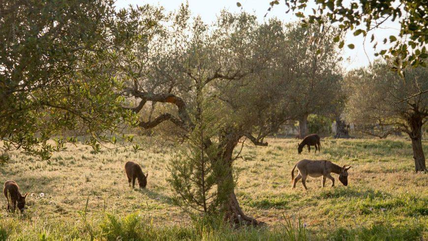 Gli asinelli dell'agritursimo Can Martí, immerso nella natura della campagna, Baleari, Spagna.