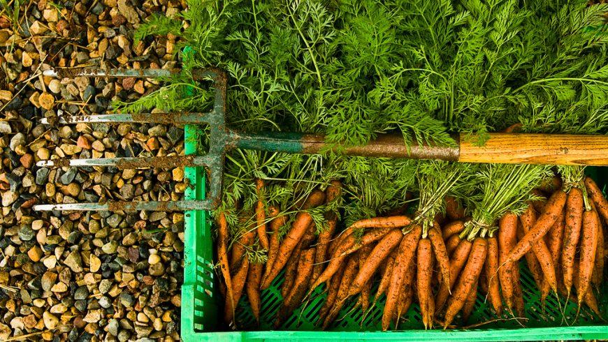 fresh carrots from the garden