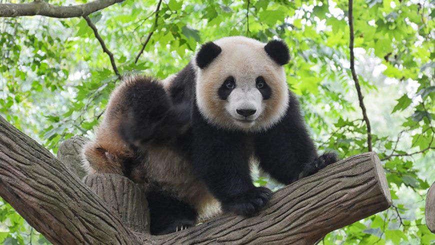 panda, animale da salvare dall'estinzione