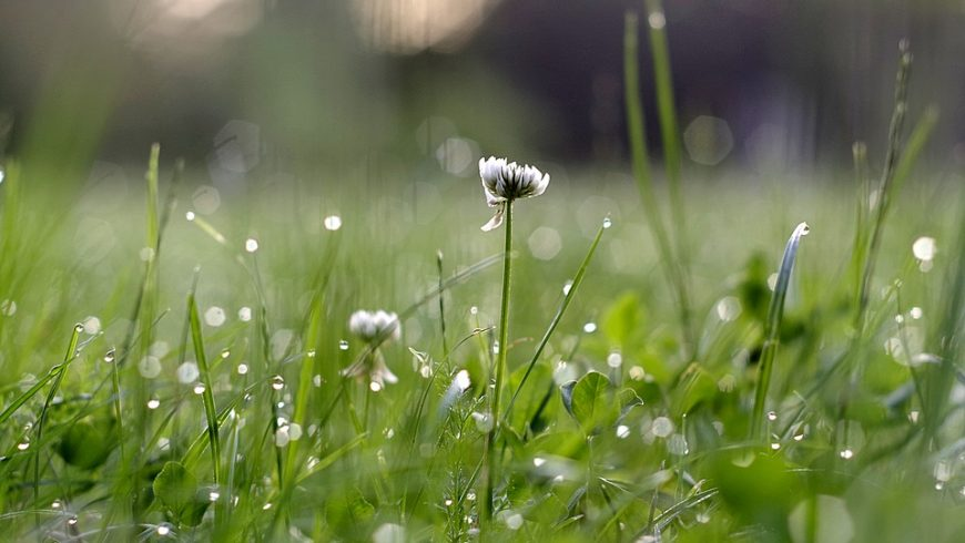 giardino, trifoglio, fiori