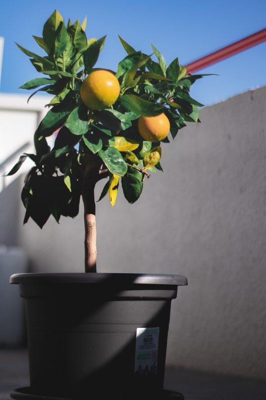 pianta agrumi