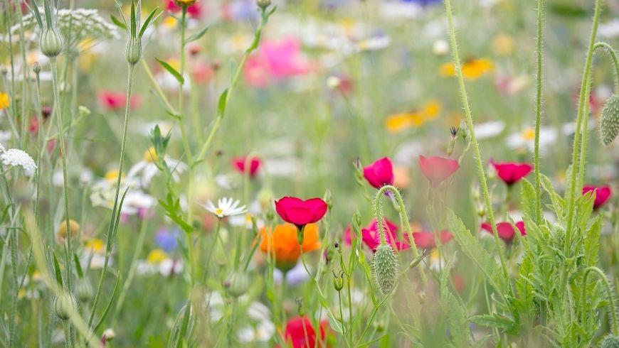 prato fiorito con erba alta